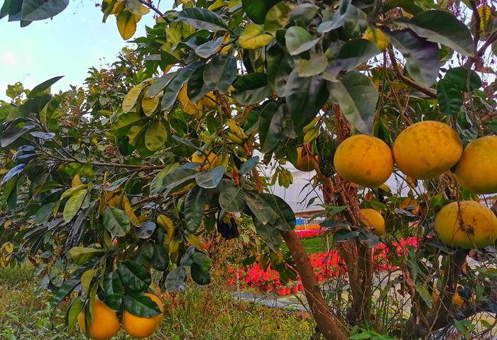 旗山万林生态园  柚子