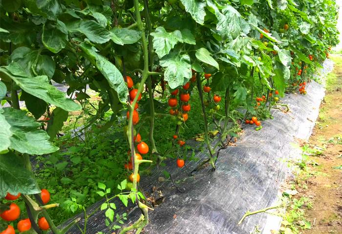 旗山万林生态园 小西红柿