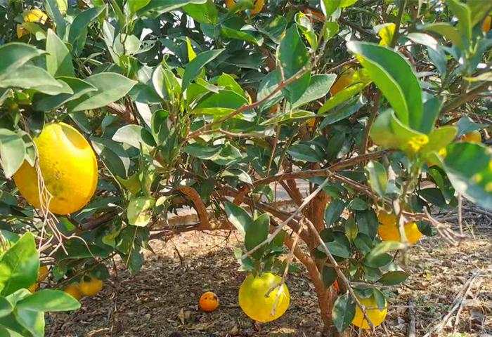 旗山万林生态园  脐橙