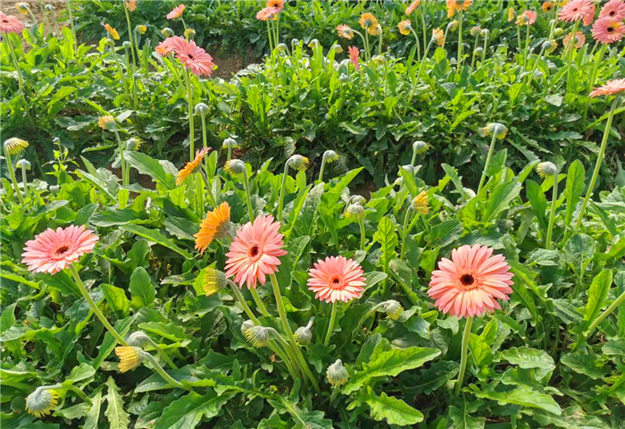 旗山万林大棚鲜花